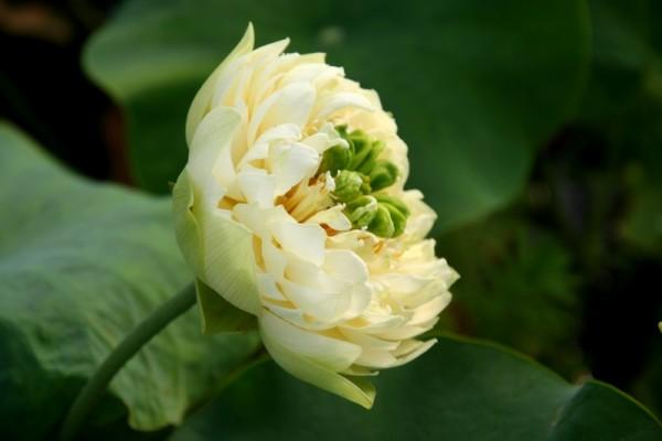 Nelumbo `Gold und Jade` - Lotosblume