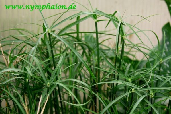 Cyperus alternifolius 'Gracilis' - Zwerg-Zyperngras