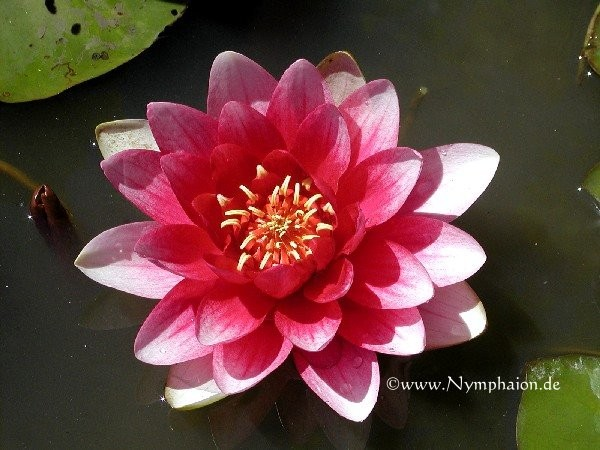 Nymphaea `Laydekeri Purpurata` - Winterharte Seerose