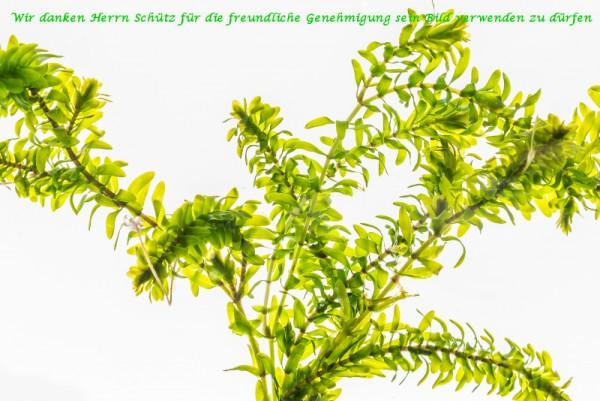 Elodea canadensis [Michx.] - Kanadische Wasserpest