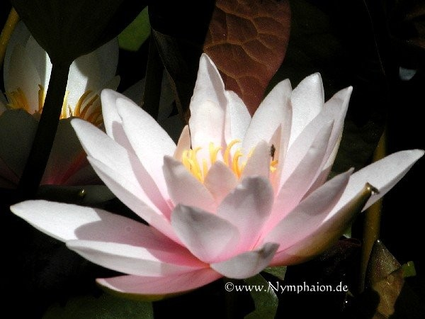 Nymphaea `Marliacea Rosea` - Winterharte Seerose