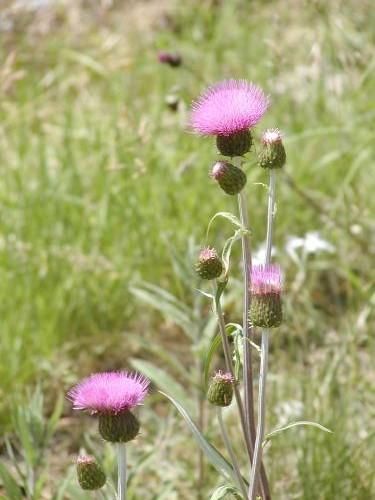Cirsium heterophyllum [(L.) Hill] - Verschiedenblättrige Distel