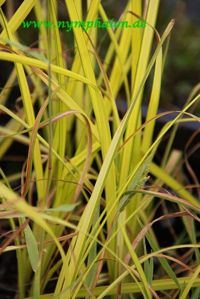 Carex elata [All.] - Steife Segge