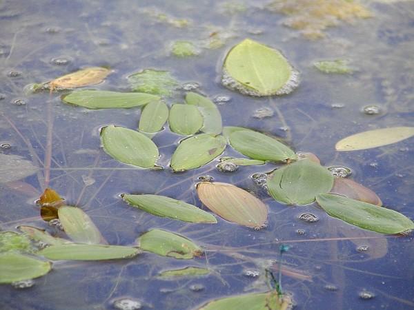 Potamogeton natans [L.] - Schwimmendes Laichkraut