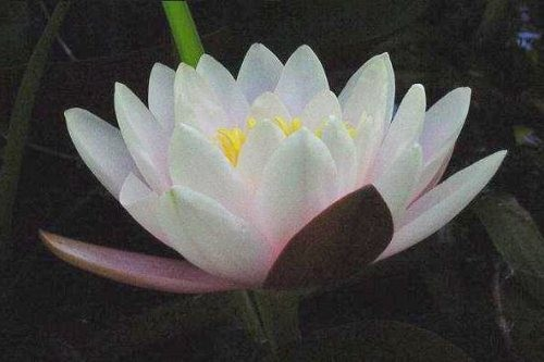 Nymphaea `Marliacea Carnea` - Winterharte Seerose