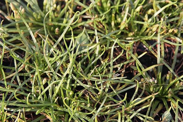 Littorella uniflora [(L.) Asch.] - Europäischer Strandling