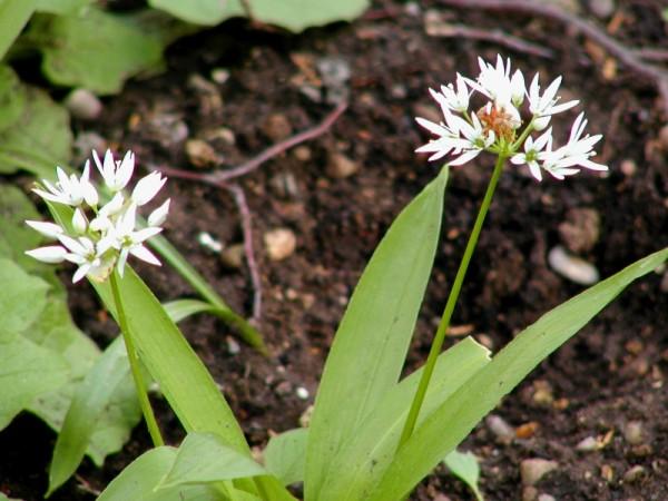 Allium ursinum L. - Bärlauch