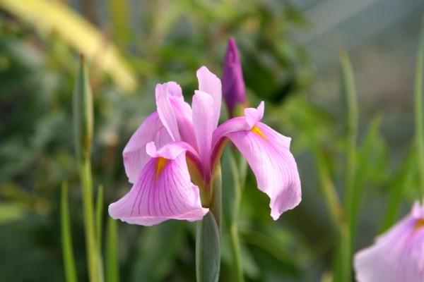 Iris laevigata `Rose Queen` - Asiatische Sumpfschwertlilie
