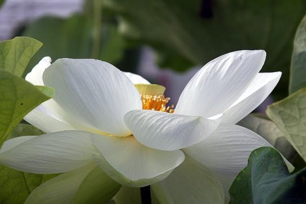 Nelumbo `Shiroman` - Lotosblume