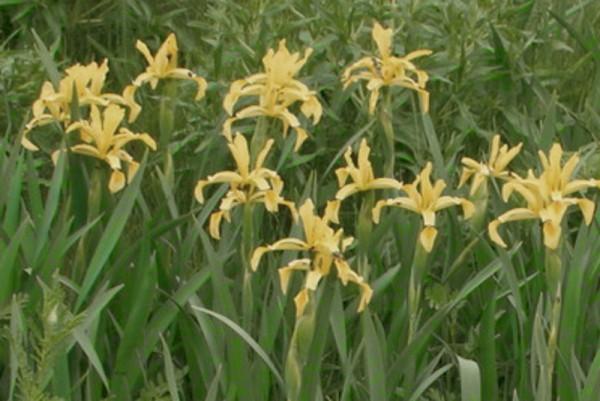 Iris halophila [Asch.& Sint. ex Baker] - Salzwieseniris