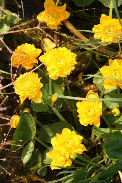Caltha palustris `Multiplex` - Gefüllte Sumpfdotterblume