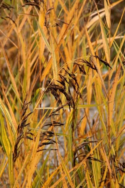 Phragmites australis `Variegatus` - Buntes Schilfrohr