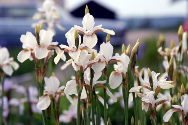 Iris sanguinea `Snow Queen` - Blutiris