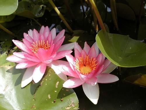 Nymphaea `Gloriosa` - Winterharte Seerose