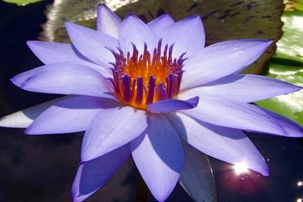 Nymphaea `BluBop` - Tropische Seerose