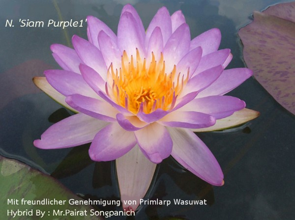 Nymphaea `Siam Purple` - Winterharte Intersubgenerische Seerose