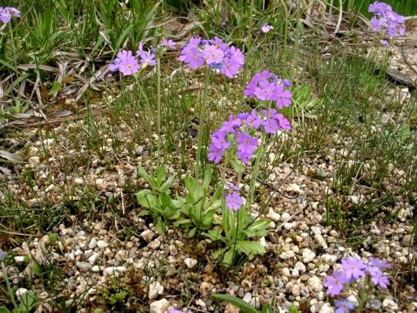Primula farinosa [L.] - Mehlprimel