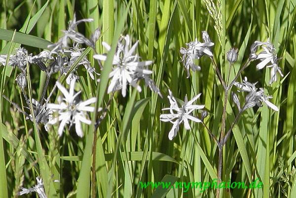 Silene flos-cuculi f albiflora - weiße Kuckuckslichtnelke