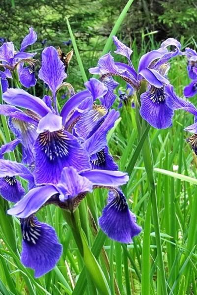 Iris bulleyana [Dykes] - Chinesische Iris