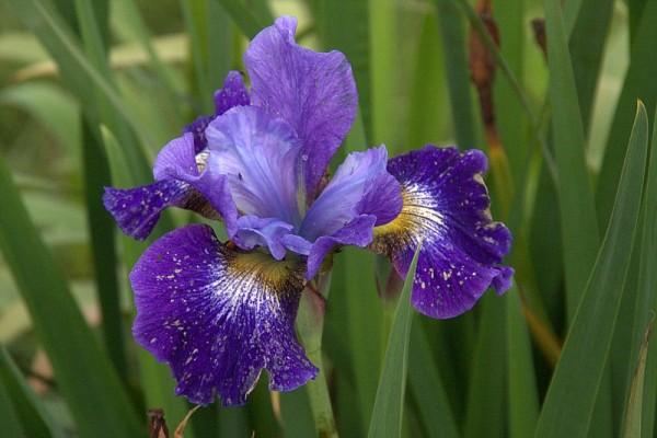 Iris sibirica `Caesars Brother` - Wiesenschwertlilie