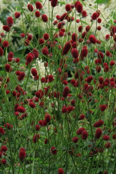 Sanguisorba officinalis 'Tanna' - Großer Wiesenknopf