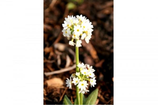 Primula denticulata `Alba` - Kugelprimel