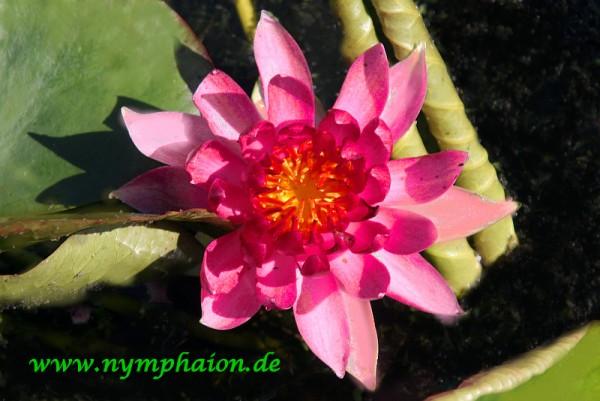 Nymphaea `Erhard Oldehoff` - Winterharte Seerose