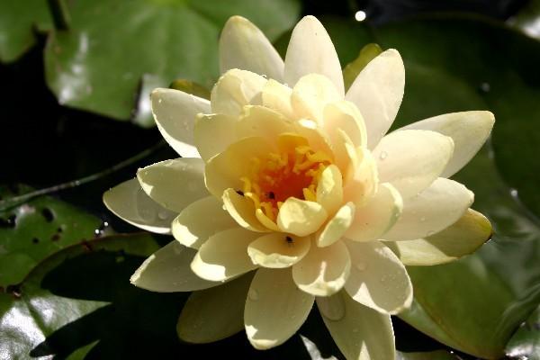 Nymphaea `Peaches and Cream` - Winterharte Seerose