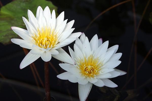 Nymphaea `Innocence` - Tropische Seerose