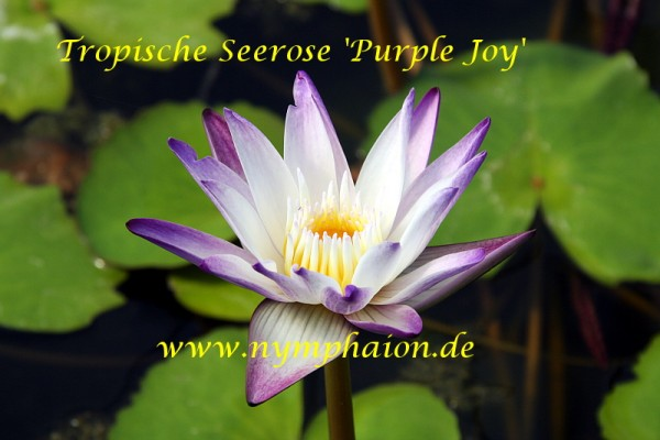 Nymphaea `Purple Joy` - Tropische Seerose