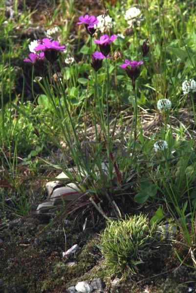 Dianthus carthusianorum [L.] - Kartäusernelke