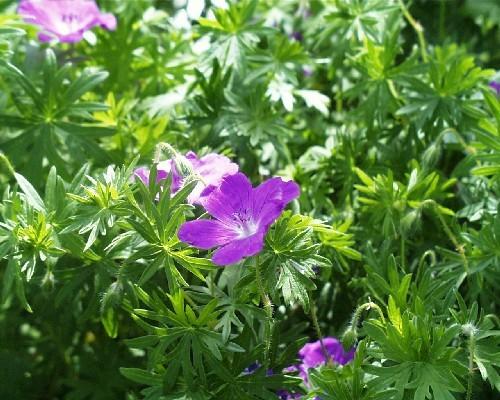 Geranium palustre [L.] - Sumpfstorchschnabel