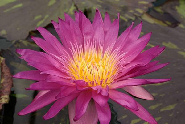 Nymphaea `Miami Rose` - Tropische Seerose