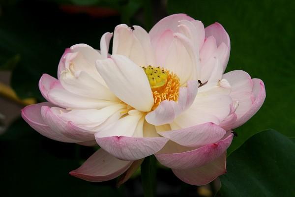 Nelumbo `Wasserspiel` - Lotosblume