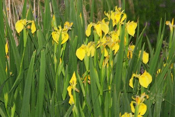 Iris pseudacorus [L.] - Wasserschwertlilie