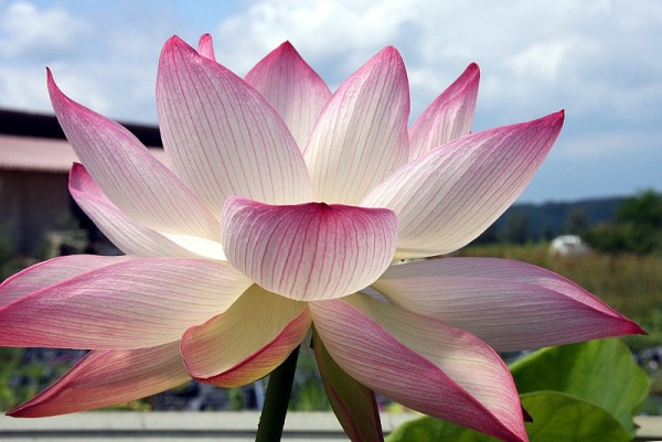 Nelumbo `Schmetterlingstraum` - Lotosblume