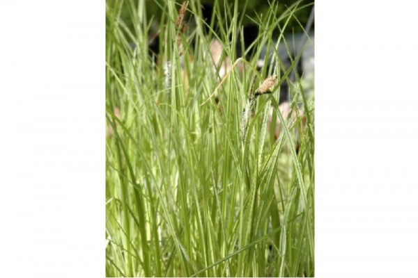 Carex riparia [Curtis] - Ufersegge