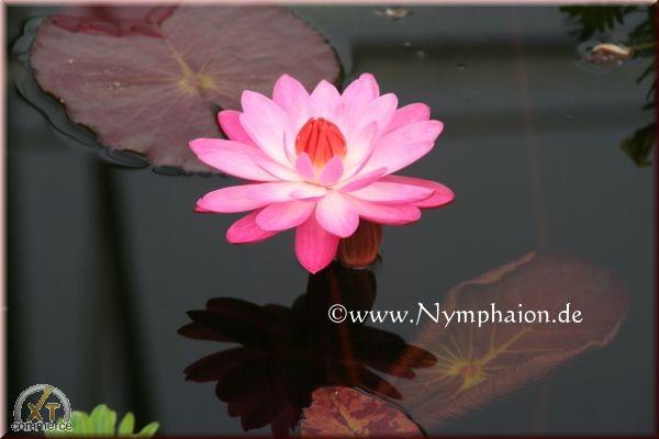 Nymphaea `Emily Grant Hutchings` - Tropische Seerose
