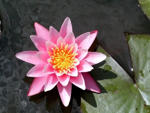 Nymphaea `Pink Sensation` - Winterharte Seerose