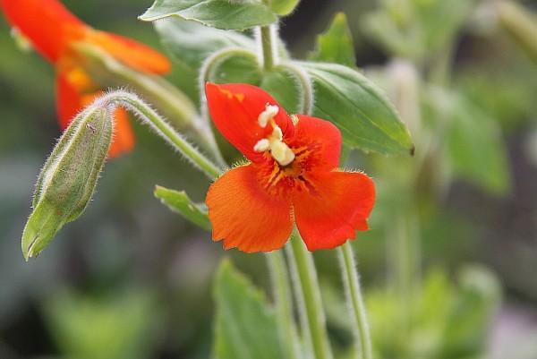 Mimulus cardinalis [Douglas ex Benth.] - Rote Gauklerblume