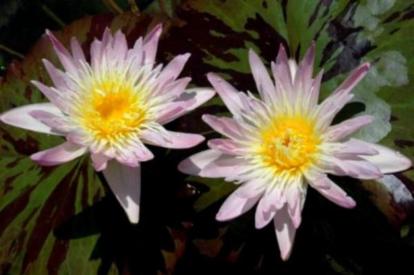 Nymphaea `Ostara` - Tropische Seerose