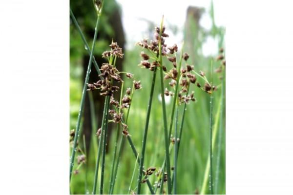Schoenoplectus lacustris [(L.) Palla] - Teichsimse