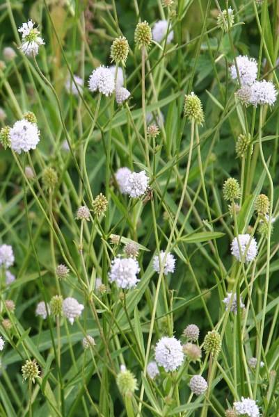 Succisella inflexa 'Alba' - Moorabbiss 'Alba'