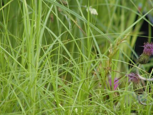 Carex acuta [L.] - Schlanksegge