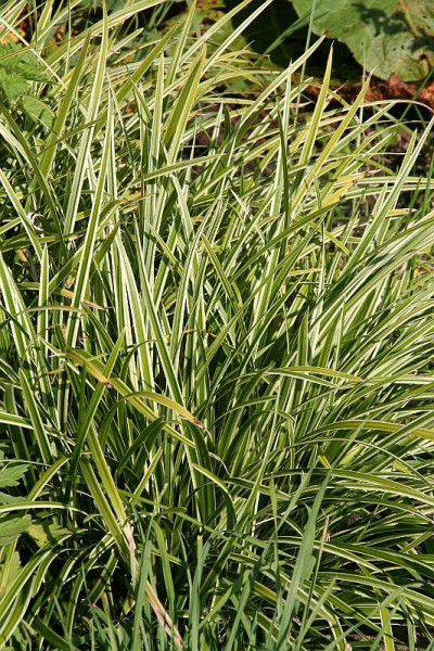 Carex foliosissima `Ice Dance`