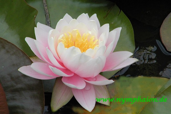 Nymphaea `Perry`s Pink Bicolor` - Winterharte Seerose-