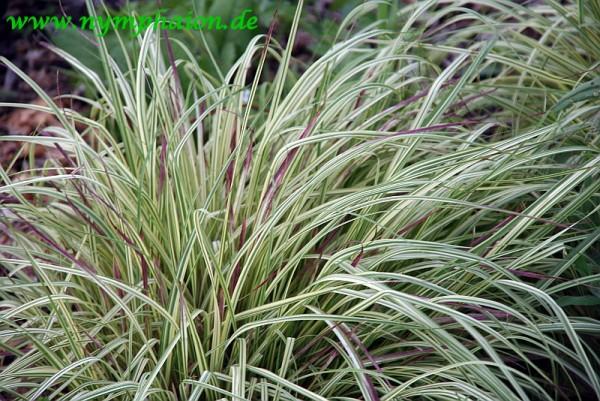 Molinia caerulea `Variegata` - Buntes Pfeifengras